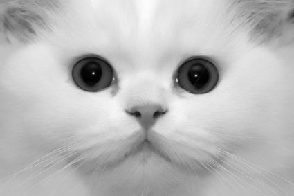 Doll Face Persian Cat