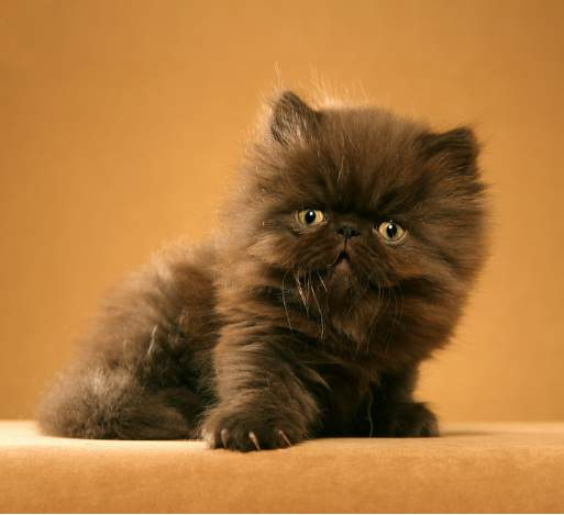 persian kitty dark coat