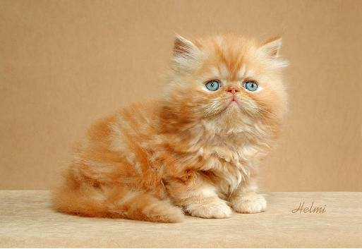 persian kitty light brown and very young