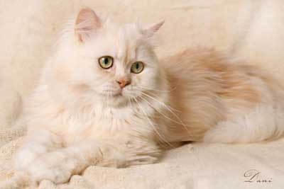 traditional Persian cat