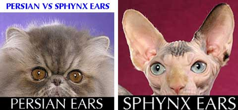 Persian cat versus Sphynx cat ear comparison