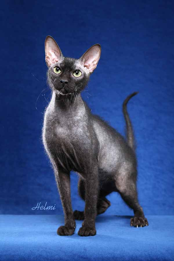 Peterbald cat pictures of cats large 1