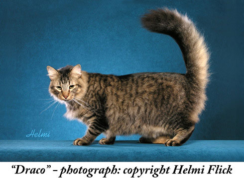 Random bred cat with erect tail