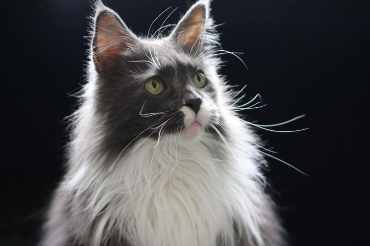 Maine Coon Cat ZAK