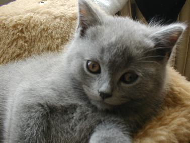pictures of kittens cats beautiful small grey kitten thinking