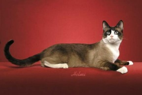 poined and white cat Snowshoe cat