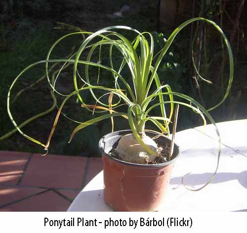 ponytail-palm-safe-for-cats-copy Ponytail Palm House Plant on elephant bush house plant, tall upright indoor plant, canary island date palm house plant, variegated ivy house plant, royal palm house plant, kentia palm house plant, king palm house plant, cast iron plant house plant, zinnia house plant, sage house plant, peach house plant, ponytail plant problems, ponytail plant care tips, ponytail bottle plant, bromeliads house plant, windmill palm house plant, periwinkle house plant, morning glory house plant, dracaena house plant, ponytail plant care indoor plants,