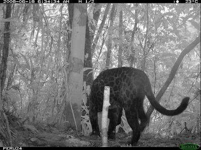 Melanistic jaguar in the Amazon forest - photo by Smithsonian's National Zoo