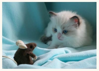 ragdoll cat and a toy mouse