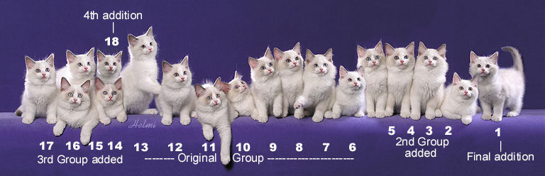 Ragdoll kittens composite picture