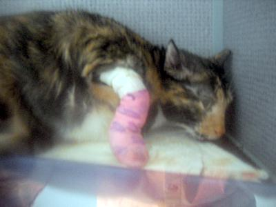 Note the cat's posture here: cringing, fearful, reluctant to rest any weight on the bandaged paw