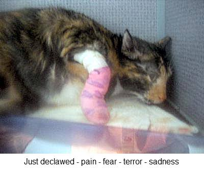 a cat that has just been declawed showing pain and a lot of distress
