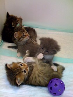 Rescue Kittens Texas Maine Coon Rescue
