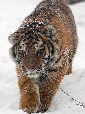 Siberian tiger cub (is it purebred?) - photo by flickkerphotos (Flickr)