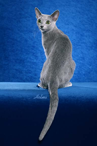 Russian Blue cat pictures of cats 1