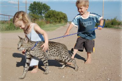 savannah cat and children