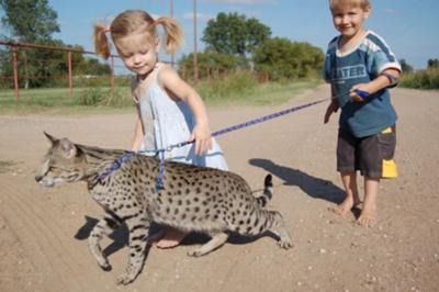 Are Savannah Cats Legal In Uk
