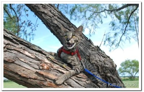 Savannah cat in a tree on a leash