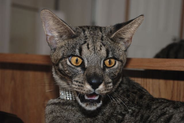 Male savannah cat