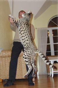 Savannah cat Magic in front of Martyn Stucki
