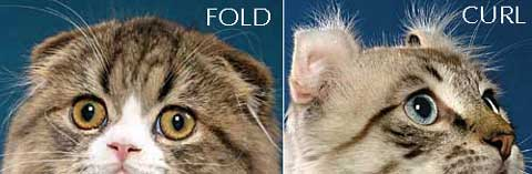 Scottish Fold ears versus American Curl ears