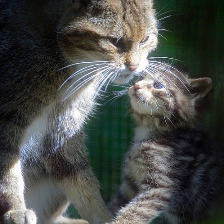 Scottish wildcat and kitten