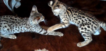 Serval and F2 Savannah play at A1 Savannahs' house