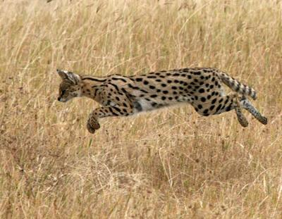 Serval Jumping on to Prey