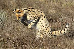 Serval Pouncing on Prey