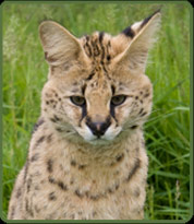 Serval picture from Wind Cat Breeder - photo copyright Wild Cat Breeder