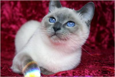 Blue point traditional Siamese cat bred and photographed by Marie Clements