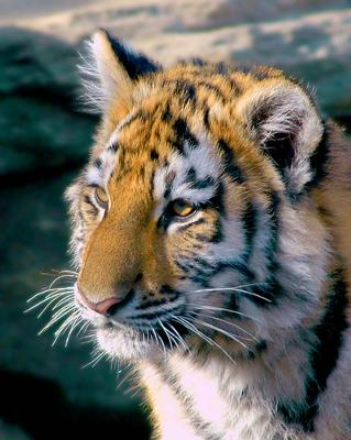 Amur (Siberian) tiger cub - photo by ucumari (one of the top 3 Flickr wildlife photographers, for me)