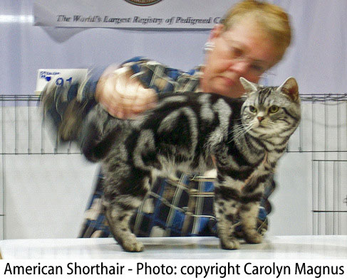 Silver tabby American SH at cat show