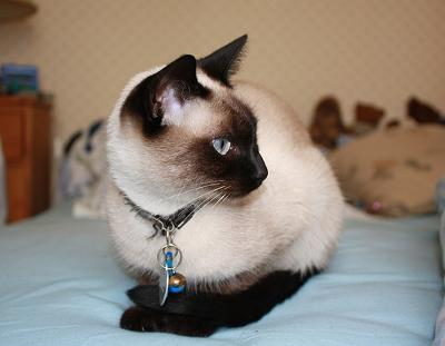 Gorgeous traditional Siamese cat - I say they have a single coat or at least no down hairs - photo by julicath/Cath (pas vraiment présente) Flickr