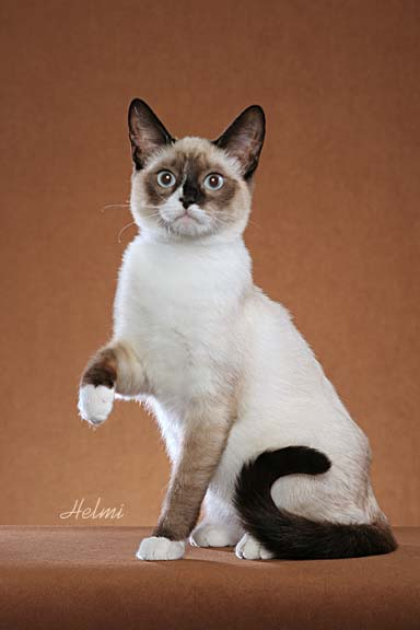 Snowshoe cat  - pictures of cats