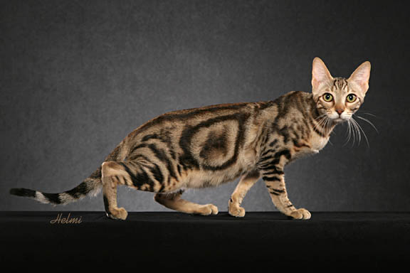 Sokoke cat  - rare breed