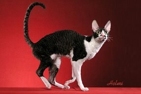 Solid and White Cornish Rex cat