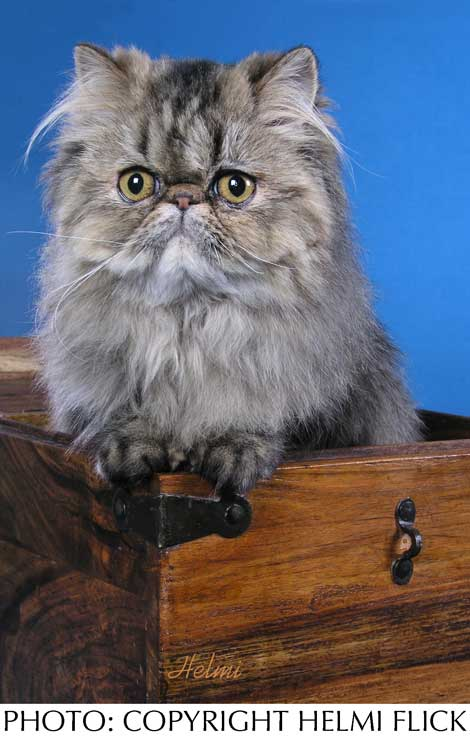 Persian tabby cat picture