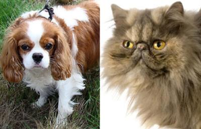 The Cavalier King Charles Spaniel vs Flat-faced Persian Cat