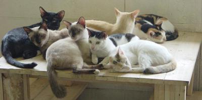 Siamese cat in Siam