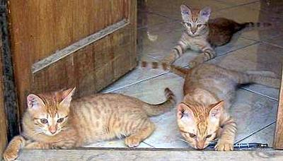 Cairo Cats - photo from the the Nile Valley Egyptian Cat website - see link below