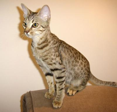 Ocicat - this is Nancy, a UK Champion. Photo copyright Sue & Paul Threapleton.