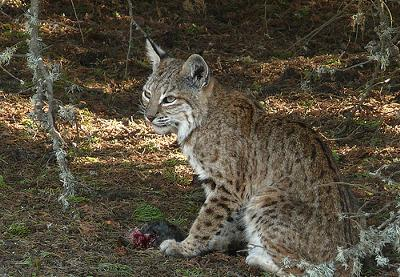 Bobcat - photo by goingslo (Flickr)