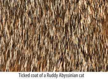 ticked coat of Abyssinian cat