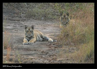 Tiger cubs in Bandavgarh Tiger Reserve - photo by Niranj Vaidyanathan (Flickr)