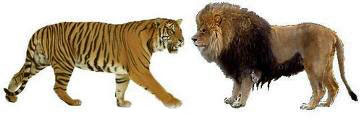 Lion versus Tiger size