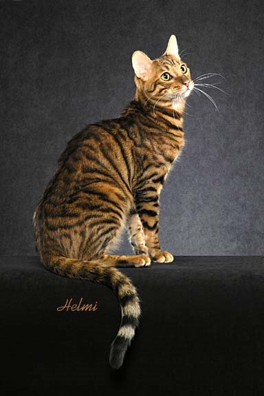 Toyger cat - pictures of cats