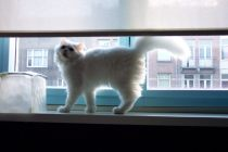 traditional persian cat yeri