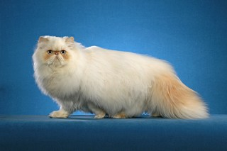 ultra persian cat
