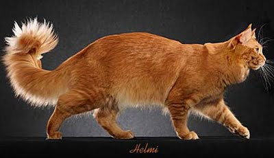Orange Maine Coon  Cat - this picture © Helmi Flick was added by Michael to illustrate this great story.